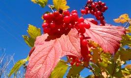 ashberry τομέας Ρωσία φθινοπώρου Στοκ Φωτογραφία
