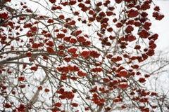 ashberry χιόνι κάτω Στοκ εικόνα με δικαίωμα ελεύθερης χρήσης