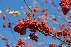 ashberry ветвь Стоковые Фотографии RF