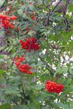 Ashberry на ветви Стоковая Фотография RF