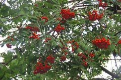 Ashberry на ветви Стоковое фото RF