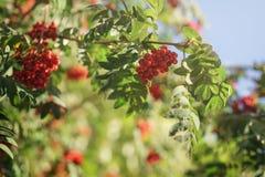 Ashberry на дереве рябины в солнечном дне осени Стоковая Фотография
