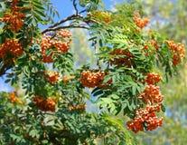 Ashberry на сухом дне Стоковое Фото