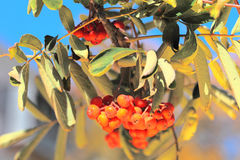 Ashberry с листьями Стоковая Фотография