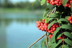 Ashberry Royalty Free Stock Photography