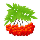 Ashberry. Vector illustration, AI file included Stock Photo