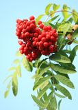 Ashberry stock foto