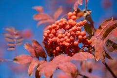 Ashberry stockbilder