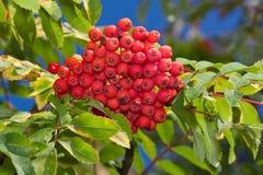 ashberry Στοκ Φωτογραφίες