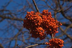 ashberry Στοκ φωτογραφίες με δικαίωμα ελεύθερης χρήσης