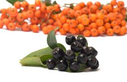 Ashberry. Royalty Free Stock Photo