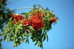 Ashberry royalty-vrije stock foto's