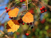 Ashberry Stock Photo