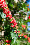 Ashberry Royalty Free Stock Photos