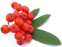 Free Ashberry Stock Photo - 184480