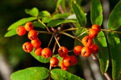 ashberry Στοκ Φωτογραφία