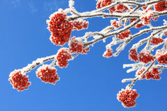ashberry Стоковые Фото