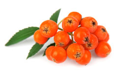 Ashberry. Stock Photos