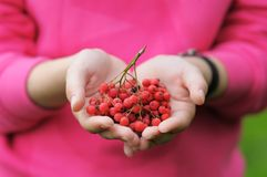 Ashberry Royalty Free Stock Photo