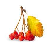 Ashberry Στοκ Εικόνα