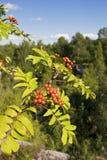 Ashberry στοκ εικόνες με δικαίωμα ελεύθερης χρήσης