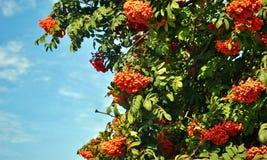 Ashberry Fotografia de Stock