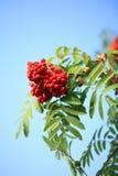 Ashberry Immagini Stock Libere da Diritti