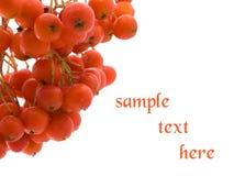 ashberry Стоковое Изображение