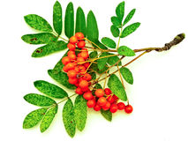 Ashberry Stock Images