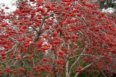 Ashberry Image libre de droits