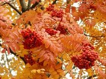 ashberry Royaltyfri Bild