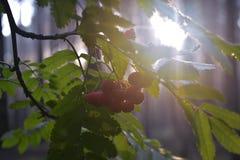 Ashberry Imagens de Stock Royalty Free
