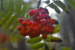 Ashberry Foto de archivo libre de regalías