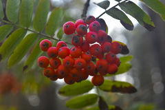 Ashberry Foto de Stock Royalty Free