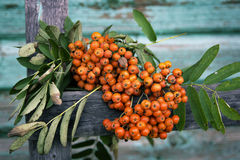 Ashberry Stockfoto