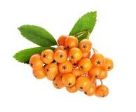 Ashberry anaranjado aislada en el fondo blanco Foto de archivo libre de regalías