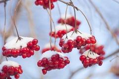 Ashberry avec la neige Photographie stock libre de droits