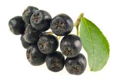 Ashberry. Baya de la ceniza negra aislada Imagenes de archivo