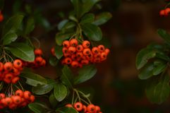 Ashberry berrys五颜六色在被研的砖 库存图片