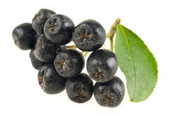Ashberry. Black ash berry isolated Stock Images