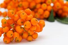 Ashberry Block mit heller orange Beere Stockfotos
