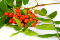 Ashberry branch Royalty Free Stock Photography