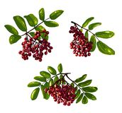 Ashberry Branch Composition Royalty Free Stock Photo