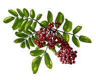 Ashberry Branch Composition Royalty Free Stock Images