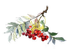 Ashberry branch. The picture of a ashberry branch Stock Images