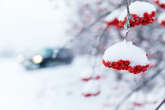 Ashberry branch in a snow Stock Photo