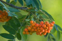 Ashberry Bunch. Bunch of orange ashberries on yellow-green blurred background royalty free stock photo