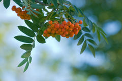 Ashberry Bunch. Bunch of orange ashberries on blue-green blurred background royalty free stock images