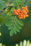 Ashberry Bunch. Bunch of orange ashberries on green blurred background stock photography