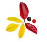 ashberry chokeberry Стоковые Изображения